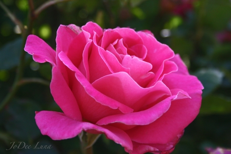 Etherial Rose